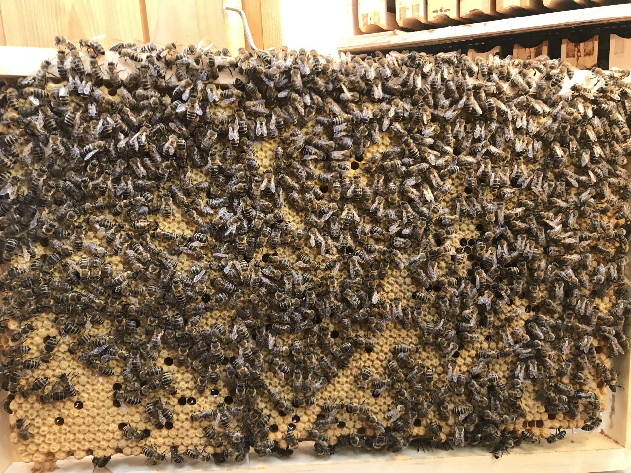 Urška Intihar beekeeping carnica