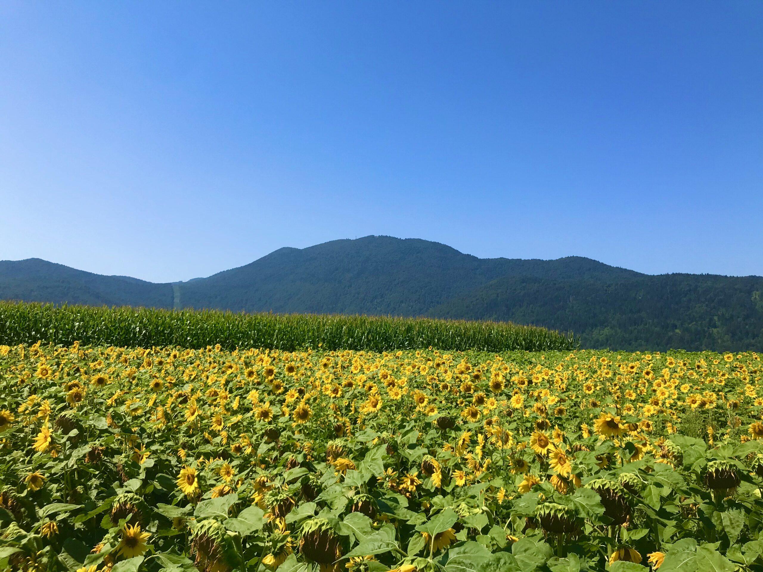 Sunflower Slovenia Intihar
